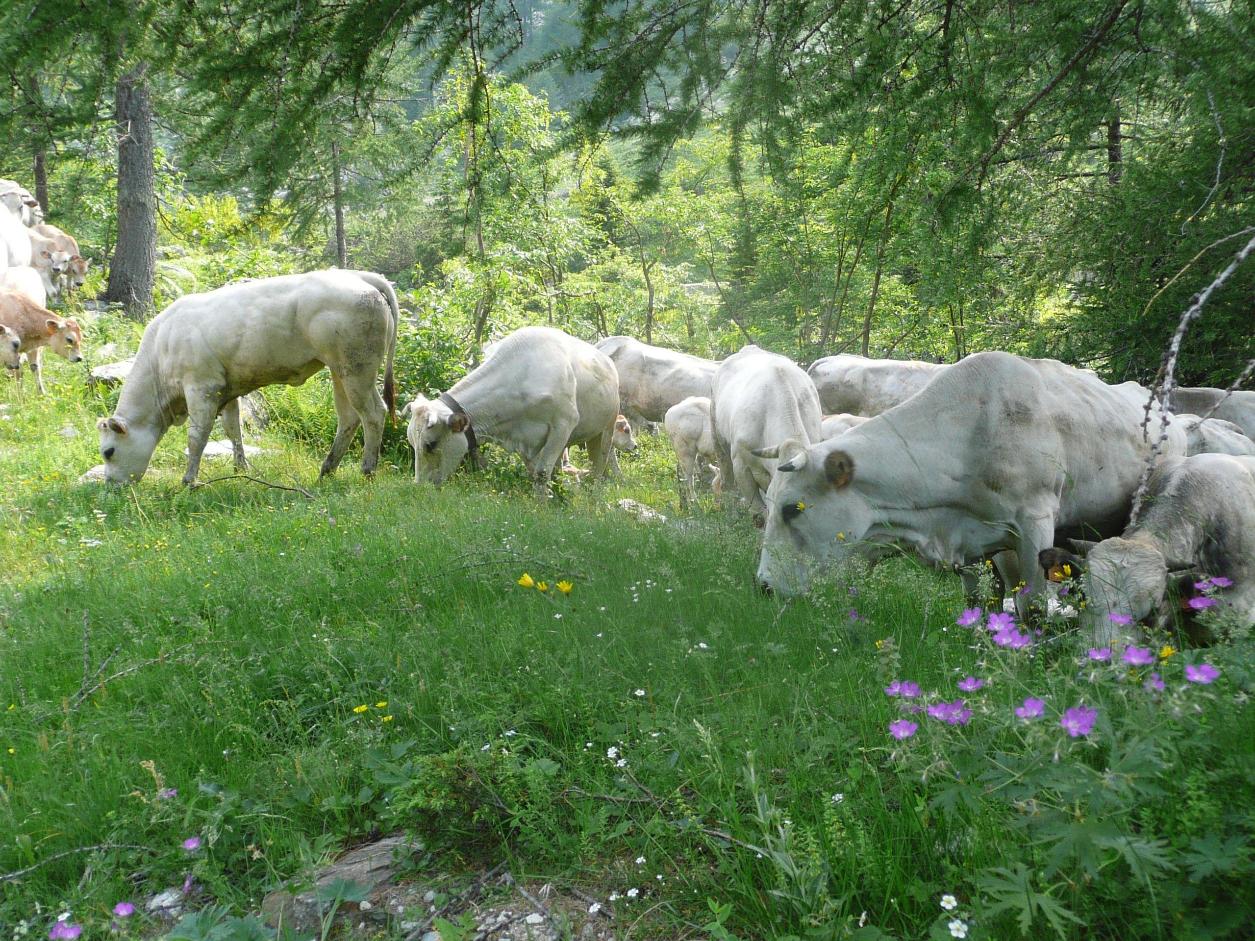 Bovini di razza piemontese in alpeggio, Valle gesso (CN)