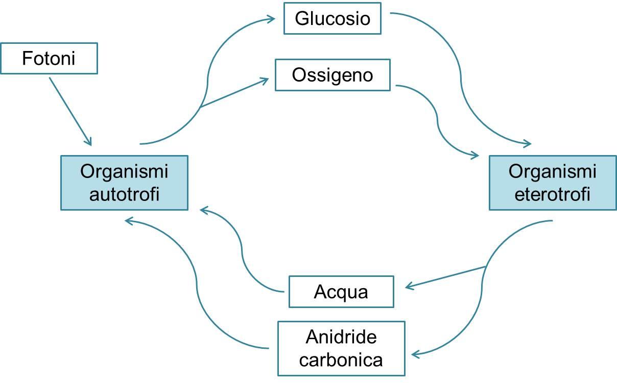 Schema semplificato del ciclo dell'energia e delle relazioni tra organismi autotrofi e eterotrofi
