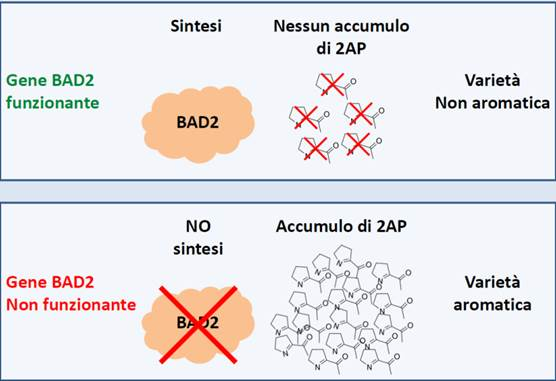Differenze gene BAD2 in varietà aromatiche e non aromatiche di riso