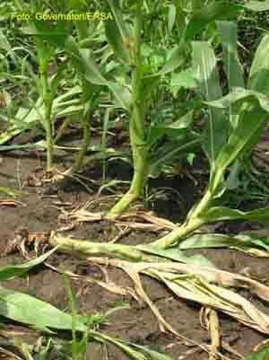 Danni causati da diabrotica (allettamento) su piante di  mais