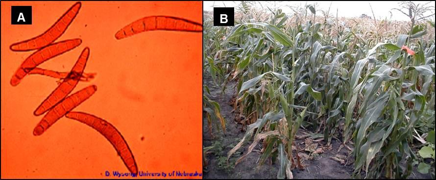 Spore ed effetti del patogeno Bipolaris maydis