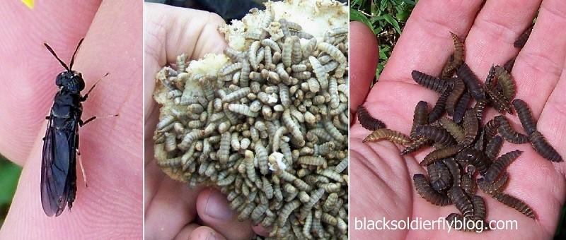 Adulto, larva e pupa di Hermetia illucens