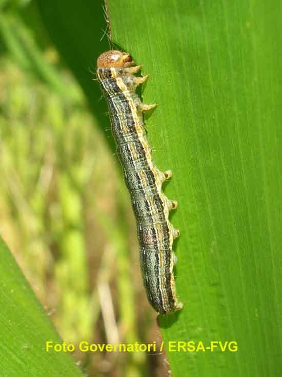 Larva di nottua delle graminacee