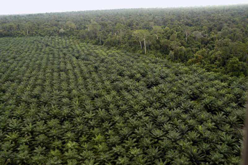 Aree agricole destinate alla coltivazione di palme da olio ottenute dalla deforestazione della foresta primaria