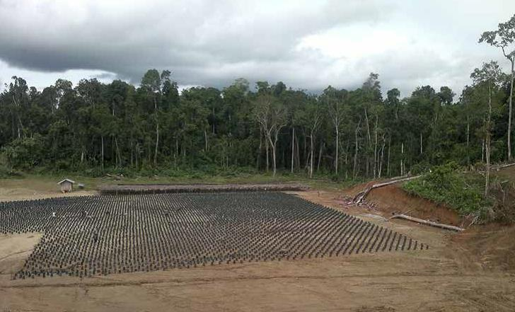 Nursery di palma da olio dopo la forestazione